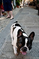 Boston terrier on streets of Monterosso, Cinque Terre, Italy