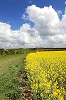 Oilseed rape, brassica napus, crop in flower showing field margin for wildlife, Norfolk, England, May