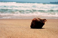 Coconut on the beach with blurred waves of the ocean in the background