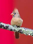 Female cardinal on perch