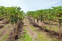 Hawaï , Big Island , Papaya  Carica papaya  , Order: Brassicales , Family: Caricaceae.