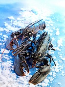 raw lobsters on ice