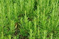 Rosemary plants