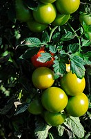 Tomatoes on the plant