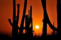 Saguaro cactus, Carnegiea gigantea, tower over the desert in Saguaro National Park West in the Sonoran Desert in Tucson, Arizona, USA