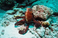 Day octopus Octopus cyanea hunting over coral rubble  Andaman Sea, Thailand
