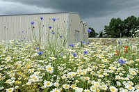 Bank of wild flowers including Scenless mayweed, matricaria perforater and cornflower planted on spoilheap by new farm buildings Norfolk, England, Jun...
