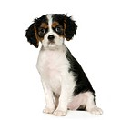 Cavalier King Charles Spaniel 3,5 months
