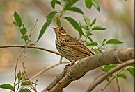 Olive_backed Pipit Anthus hodgsoni adult, perched on branch, Beijing, China, may