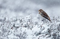 Snow Bunting Plectrophenax nivalis adult female, perched on snow covered heather in light snow shower, Cairngorms, Highlands, Scotland, winter