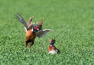 Common Pheasant Phasianus colchicus two adult males, fighting in arable field, Norfolk, England, april