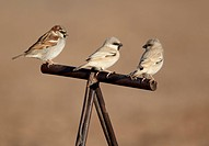 Desert Sparrow Passer simplex and House Sparrow Passer domesticus adult males, perched on handle of camel saddle, Erg Chebbi, Morocco, february