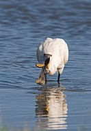 Eurasian Spoonbill Platalea leucorodia adult, feeding in water, Cley, Norfolk, England, july