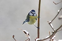 Blue Tit Parus caeruleus adult, perched on frosty twigs, Yorkshire, England, january