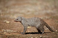 Banded Mongoose Mungos mungo adult, standing in savannah, Pilanesberg N P , North West Province, South Africa
