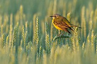 Yellow wagtail in grain field, Motacilla flava, Hesse, Germany, Europe