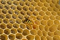 Common Wasp Vespula vulgaris adult, feeding, robbing honey on comb from open hive, Norfolk, England, july