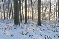 Snow covered woodland habitat with sun shining through trees, Norfolk, England, december
