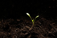 Seedling in dirt, close_up