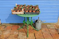 Seedlings being hardened off on garden table outside garden shed, Norfolk, England, march