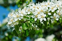 Apple tree blossoming branch in spring