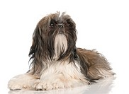 Shih Tzu puppy 8 months old