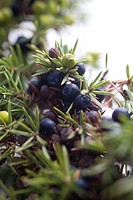 Juniper berries growing on branch