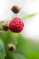 Raspberries growing on bush