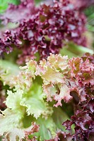 Lettuce, close_up