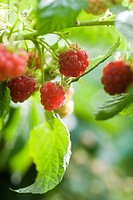 Raspberries ripening on bush