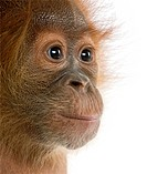 Close_up of baby Sumatran Orangutan, 4 months old, in front of white background