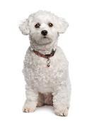 maltese dog 18 months