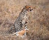 Cheetah sitting and eating prey, Serengeti National Park, Tanzania, Africa
