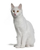 Turkish Angora 18 months old