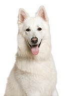 Swiss Shepherd dog, 3 years, in front of white background