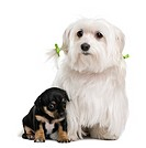 Maltese, 7 years old with mixed_breed puppy 1 month old, in front of white background
