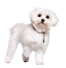 maltese dog 2 years old
