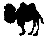 vector silhouette of the camel on white background