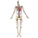 Skeleton with deep arteries and veins _ Anterior view
