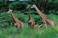 Masai Giraffe, giraffa camelopardalis tippelskirchi, Herd of Adults in Kenya