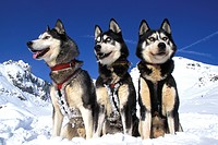 Siberian husky sled dogs, winter
