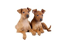 Miniature Pinscher puppies lying side by side