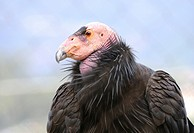 California condor, Santa Barbara Zoo, Santa Barbara, California, USA