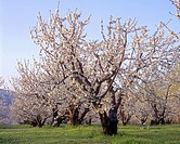Fruit orchard in full bloom, near Mosier, Columbia River Gorge National Scenic Area, northern Oregon, USA