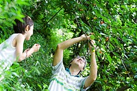 Father and son pulling cherries off tree