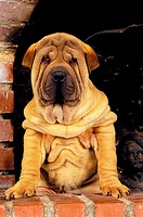 Shar Pei Dog, Pup near Fire Place