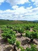 Mencía vineyards near Villafranca del Bierzo, León province, Spain