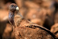 Griffon Vulture (Gyps fulvus) in The Domain, Castellon province, Comunidad Valenciana, Spain