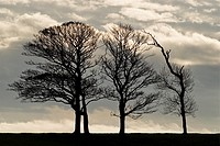 Row of leafless trees in late Autumn, Caernarfon, Wales