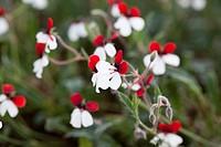 Geranium Pelargonium tricolor